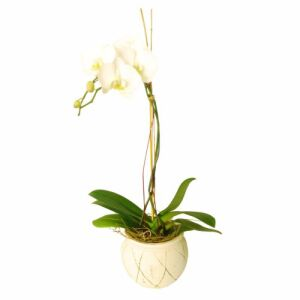 Orchid In Ceremic Vase (Subject to availability)